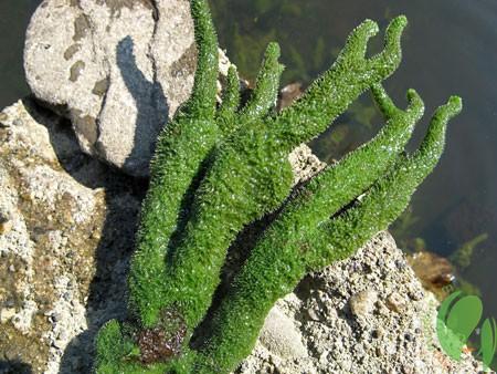 растение бодяга